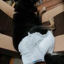 我が家の老犬もリハビリパンツを履く事に・・・の記事に添付されている画像