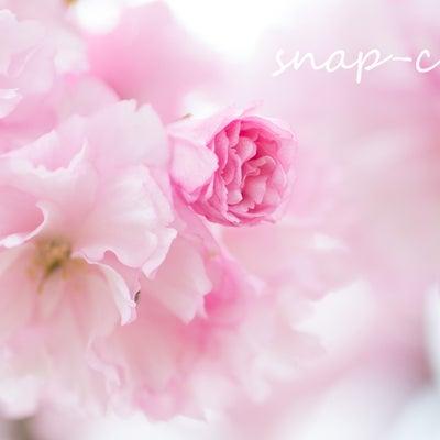 【募集】「コドモシャシンを楽しむ会」第一回目は「桜と撮ろう」の記事に添付されている画像