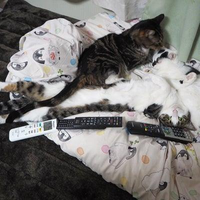 大人猫レアくん7年267日 バースデー!の記事に添付されている画像