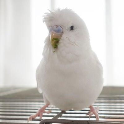 セキセイインコのレティさん…  豆苗を食べましたの記事に添付されている画像