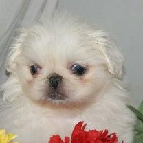 ペキニーズ子犬めす/宮城ペットショップの記事に添付されている画像
