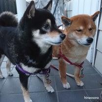 犬が泣いているとき飼い主はどうすればいいのだろう~柴犬ひなあおそらの記事に添付されている画像