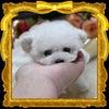 特選犬 ポケットサイズのプードル姫登場の画像