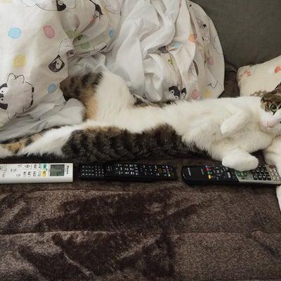 大人猫レアくん7年271日 三毛子さ~ん♪の記事に添付されている画像