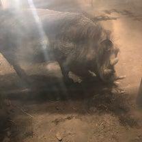 猪年イボイノシシに注目の記事に添付されている画像