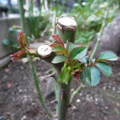 1月に植え付けした ロココ サハラ'98 新芽が出たよ~の記事に添付されている画像