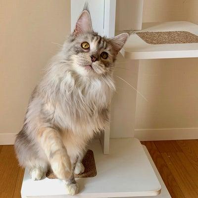 猫のチョコレート誤食、致死量は何g?の記事に添付されている画像