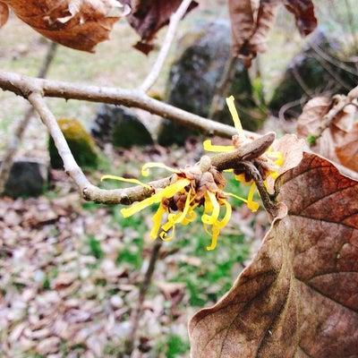 里山に春を告げる木の記事に添付されている画像