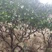 生き延びたミカンの木たち