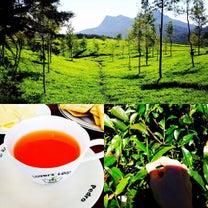茶摘み:Tea pluckingの記事に添付されている画像