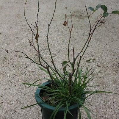 あまり咲かなくなったバラと咲いた姿を見た事ないバラの記事に添付されている画像