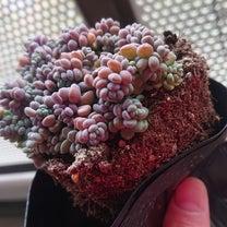 植え替えと葉挿しっこの鉢上げの記事に添付されている画像