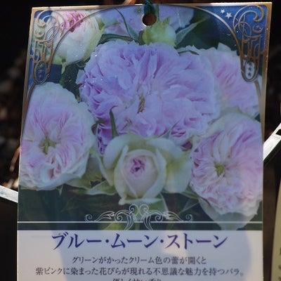 届いた薔薇&極小輪ビオラ♪の記事に添付されている画像