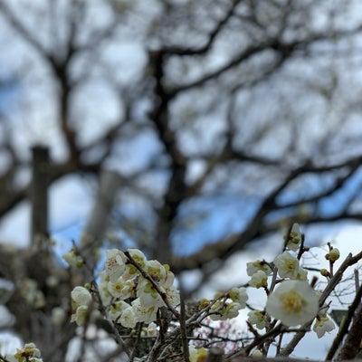 梅の季節《佐賀県嬉野市 みゆき公園》への記事に添付されている画像
