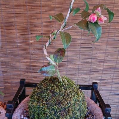 椿の苔玉の記事に添付されている画像