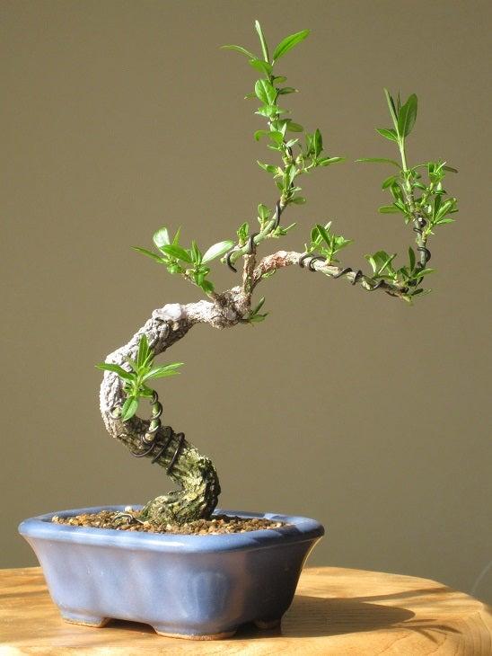 のんびり 盆栽マユミ 蕾が 付きました