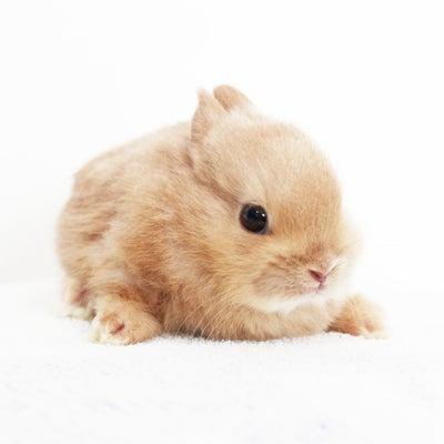 茨城県水戸市にあるウサギ販売店「プティラパン」 『ピーちゃん』ベビー1/20生のの記事に添付されている画像