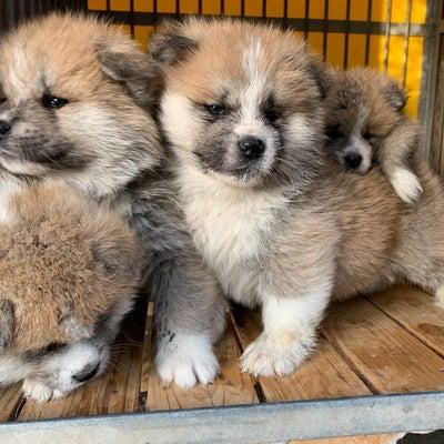 秋田っ子の両親犬と千幸ちゃんの記事に添付されている画像