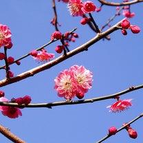 【成田の梅まつり】成田山公園の記事に添付されている画像