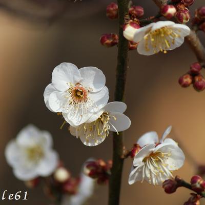 府中市郷土の森『梅まつり』の記事に添付されている画像