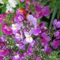 [季節のお花]リナリアについての記事に添付されている画像