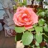 薔薇の鉢換えやっと終えましたの画像