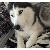 Huskyはシフォンケーキのようにフォワフォワ(*´˘`*)♡の記事に添付されている画像