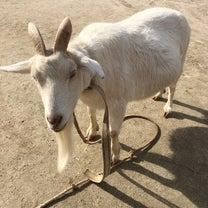 山羊から妊娠菌をもらう!の記事に添付されている画像