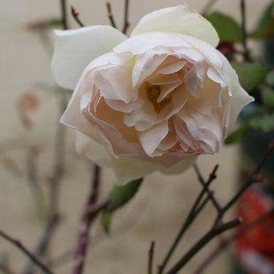 他人行儀な白バラの記事に添付されている画像