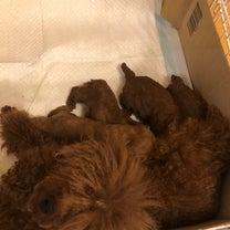 1月18日生まれティーカッププードル4兄妹!の記事に添付されている画像