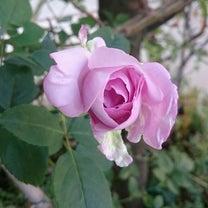 つる薔薇・ブルームーン、ボヘミアンラプソディー、ミッドナイトタウン日比谷の記事に添付されている画像