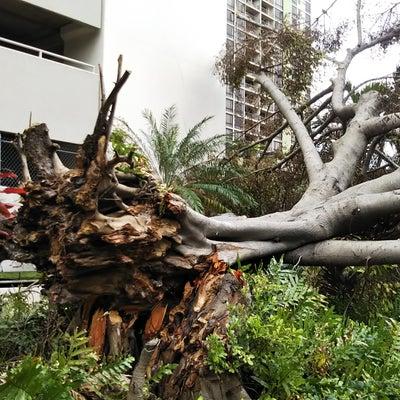 ストームの傷跡・巨木が倒れ通行人が重傷に!の記事に添付されている画像