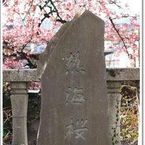 熱海桜の記事に添付されている画像