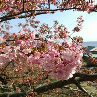 周防大島小積の河津桜開花状況。の記事に添付されている画像