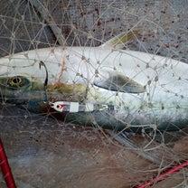 18日【月曜日】活き真鰯の泳がせ釣り‼️バーチカルジギング船‼️お客様募集中ですの記事に添付されている画像