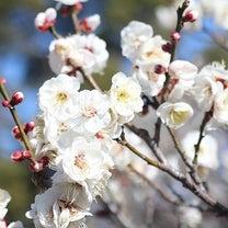 昭和記念公園の梅の記事に添付されている画像