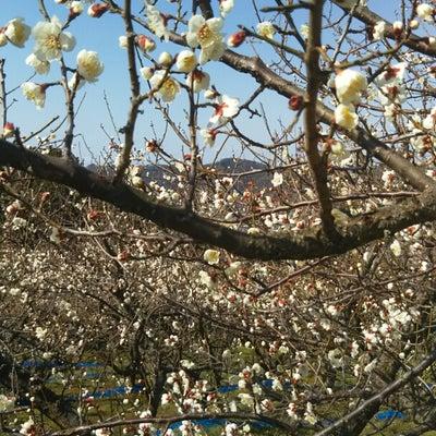 日本一の梅の郷と湯浅散策@和歌山 南部梅林の記事に添付されている画像