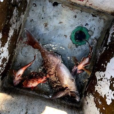 今週のレンタルボート釣果!アオリイカ、真鯛他2019/02/17の記事に添付されている画像