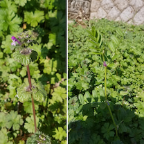 #春 っぽい。がしかし土がカラカラでグランドカバーに蒔いた種やチューリップの発育の記事に添付されている画像