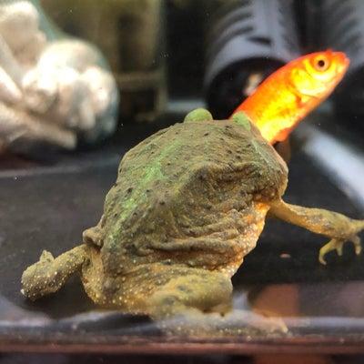 バジェットガエルの給餌風景の記事に添付されている画像