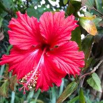 沖縄へ〜♪ ハイビスカスコレクション♪の記事に添付されている画像