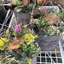 ヒヤシンスの芽出し球根で鳥の巣寄せ植えを作ろう!の記事に添付されている画像