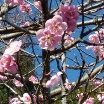河津桜祭りの記事に添付されている画像