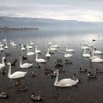 遊パークパチンコゾーン 諏訪湖に白鳥が来たよ~の巻の記事に添付されている画像