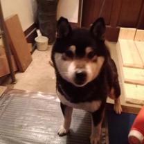 神奈川県横須賀市で迷子黒柴保護の記事に添付されている画像