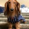 TINO…しゅうちゃんのお迎えに合わせて〜の診察日でした。・・足の麻痺・・変わらず︎...の画像
