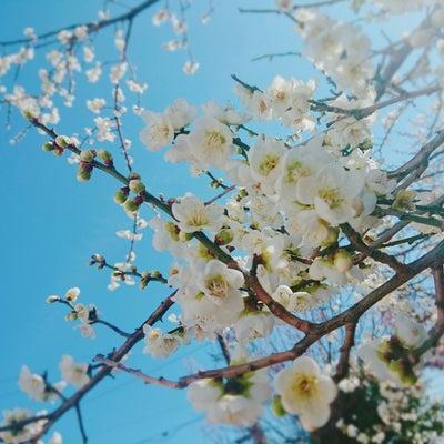 hauoliのお庭に今年も梅の花❤️と。一年中紫外線ブロックの記事に添付されている画像