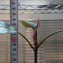 種から育てる マンゴー 第39話の記事に添付されている画像