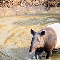 動物園が面白い 多摩動物園のマレーバクの記事に添付されている画像