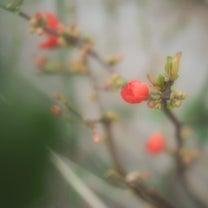 ぼけの、花の記事に添付されている画像